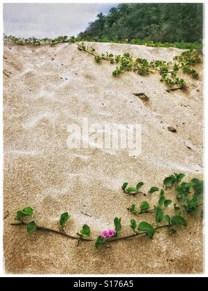 Beach morning glory grows on a sand bank at the beach in Lo de Marcos, Nayarit, Mexico adding a splash of beautiful - Stock Photo
