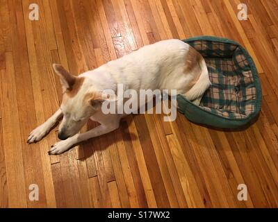 A big dog on a small bed. - Stock Photo