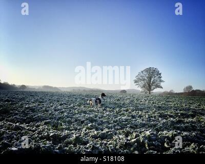 Springer spaniel in a frost covered field - Stock Photo