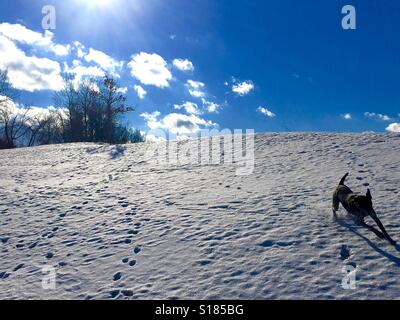 Dog running down a snowy hill. - Stock Photo