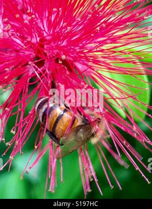 A honey bee gathers pollen from a red powder puff flower, West End, Jamaica - Stock Photo