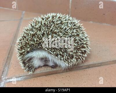 Hedgehog sleeping - Stock Photo