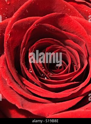 Red rose perfection - Stock Photo