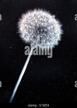 Close up black and white macro photograph of a dandelion seed head. - Stock Photo