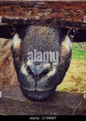 Goat face looking straight at the camera with head between a fence - Stock Photo