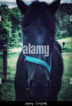 Close up of a horse face ; green field, forest and another horse behind - Stock Photo