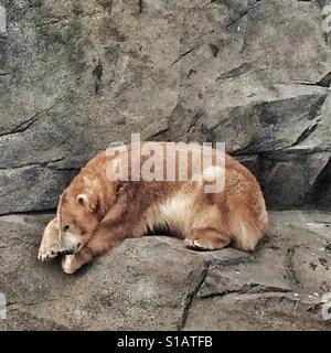 Polar Bear (Ursus maritimus) Zoo Schoenbrunn, Vienna, Austria, Europe - Stock Photo