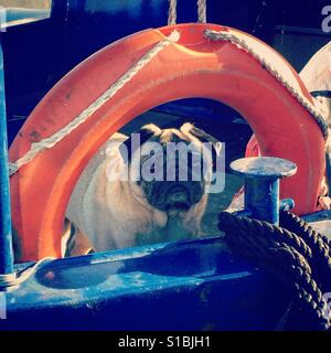Cute Pug Dog on a Boat - Stock Photo