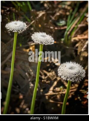 Three Ten Angle Pipewort blooms in a row, Ericaulon decangulare - Stock Photo