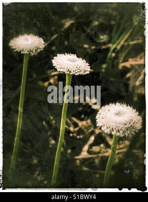 Ten Angle Pipewort flowers in a row, Ericaulon decangulare - Stock Photo
