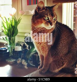 Abyssinian cat and tulips in spring - Stock Photo