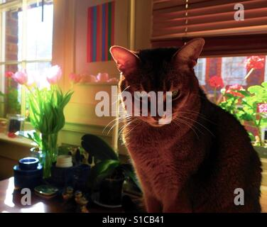 Abyssinian cat with tulips in spring - Stock Photo