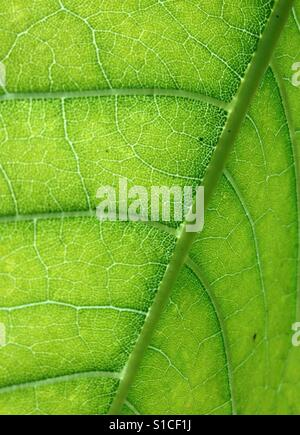 Leaf detail with cells and veins - Stock Photo
