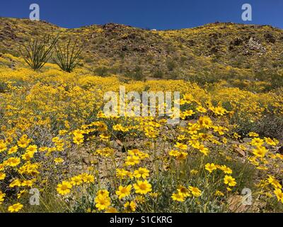Wildflower 'super bloom' after rare winter rains at Joshua Tree National Park in Southern California. 2nd April - Stock Photo