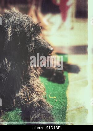 Spanish water dog - Stock Photo