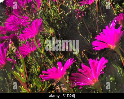 Hot pink flowers on a succulent stock photo 310679687 alamy hot pink flowers on an iceplant succulent stock photo mightylinksfo