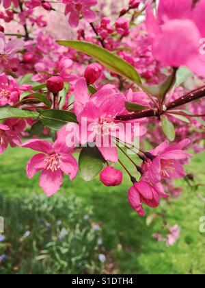 Prairie fire crab apple tree blooms in the spring time - Stock Photo
