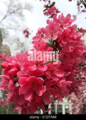 Prairie fire crab apple tree blossoms - Stock Photo
