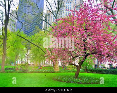 Prairiefire crabapple  tree in full bloom in Madison Square, Park ,NYC, USA - Stock Photo