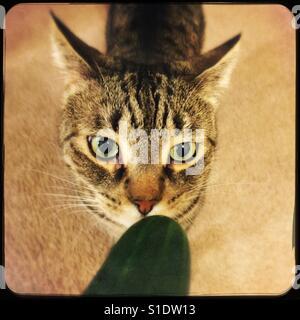 cat not afraid of cucumber stock photo 310588384 alamy
