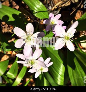 Rue anemone flowers. - Stock Photo