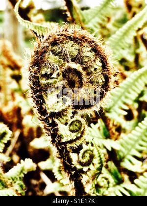 Fern unrolling new frond - Stock Photo