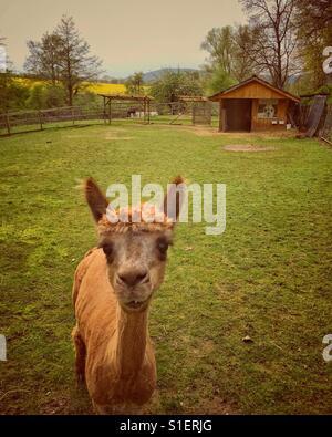 Alpaca looking at the camera - Stock Photo
