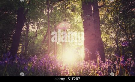 Bluebells with sunset in woodland - Stock Photo