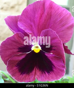 Purple Mauve Pansy, yellow center and rays of dark plum - Stock Photo