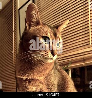 Abyssinian cat in sepia tones - Stock Photo
