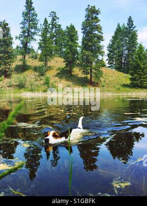 Dog swimming in a small lake surrounded by evergreen trees on a sunny late spring day. - Stock Photo
