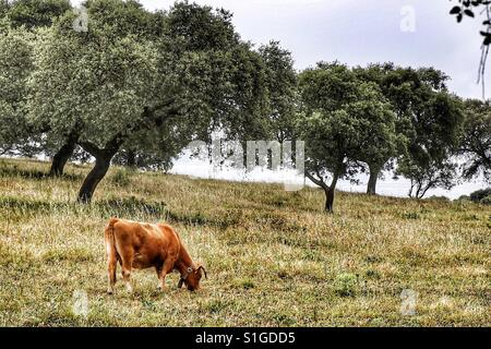 Cow in the pasture with some trees. Alentejo, Portugal. - Stock Photo