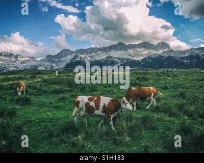 Cows on a meadow with mountains in the background (Montasio plateau, Julian Alps, Italy) - Stock Photo