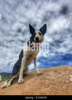 Dog on a Boulder. A smooth coated Border Collie sits on top of a large rock on a cloudy day. - Stock Photo