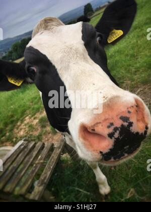 Nosey cow - Stock Photo