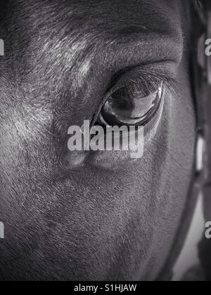 Monochrome horse - Stock Photo