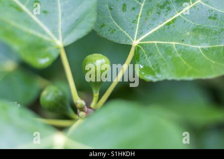 Horizontal closeup photo of a green fig ripening on a tree with another fig and the green leaves in soft focus in - Stock Photo