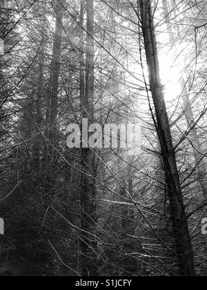 Sunlight shining through pine trees deep within a forest. - Stock Photo