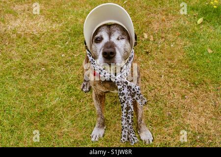 Staffie dog dressed up for summer - Stock Photo