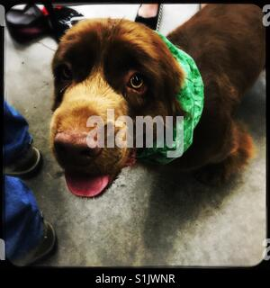 Sussex Spaniel at dog show wearing green scarf on ears - Stock Photo
