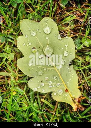 Fallen Oak leaf lying on the grass after a rainstorm - Stock Photo