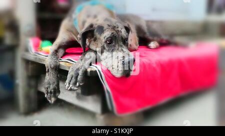 German mastiff, dreamy...! - Stock Photo