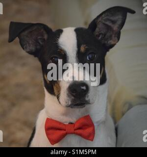 A dapper border collie puppy in a red bow tie. - Stock Photo