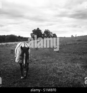 Horse with insects protection cover in field, Skane, Sweden, Scandinavia - Stock Photo