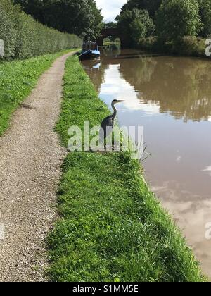 Heron on a canal uk - Stock Photo