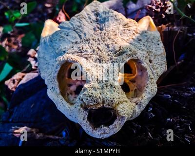 Front on view of snapping turtle skull-North Carolina - Stock Photo