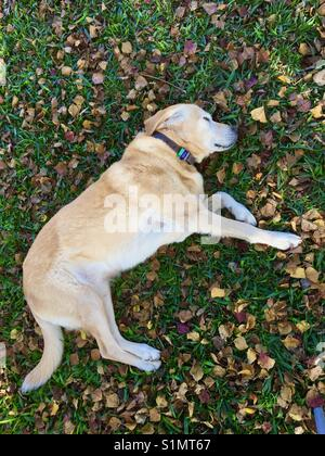 Labrador retriever dog of lying on grass with Autumn leaves - Stock Photo