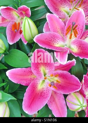 Vibrant pink Lily flowers with bright green leaves - Stock Photo