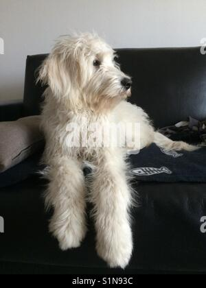 Goldendoodle white dog on black leather couch - Stock Photo