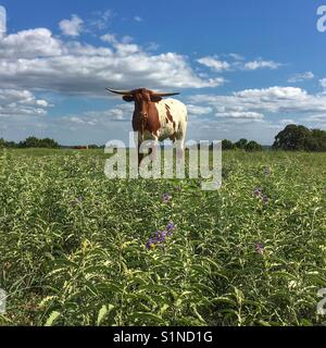 Texas Longhorn cow standing in a flowered field with blue sky and white puffy clouds on a sunny day. - Stock Photo